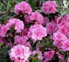 Autumn Carnation Encore Azalea