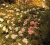 Autumn Chiffon Encore Azalea