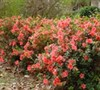 Autumn Coral Encore Azalea Picture