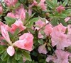 Autumn Debutante Encore Azalea Picture