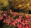 Autumn Monarch Encore Azalea
