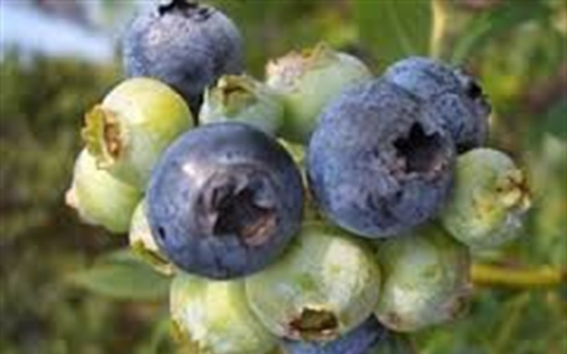 Baldwin Blueberry Picture