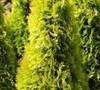 Berkman's Golden Arborvitae