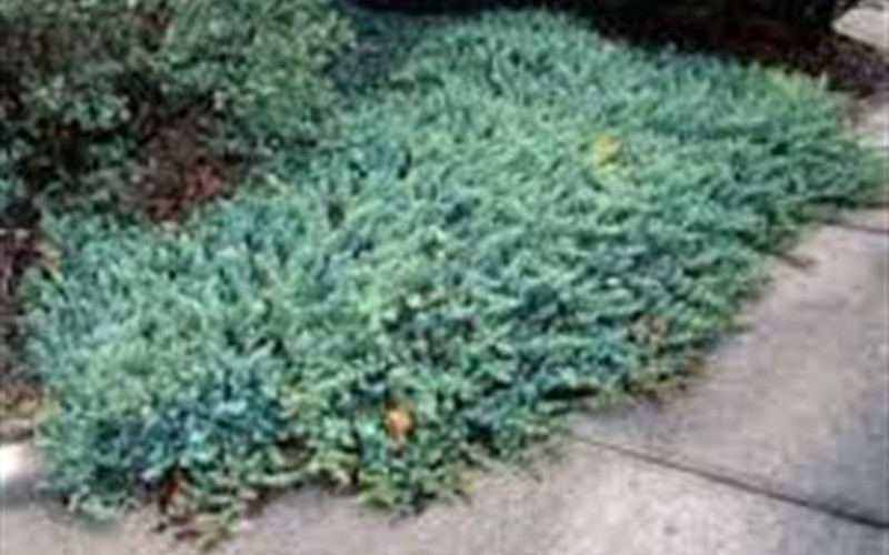 Blue Pacific Juniper Picture