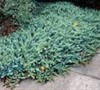 Blue Pacific Juniper