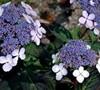 Blue Bird Hydrangea