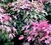Blush Pink Nandina