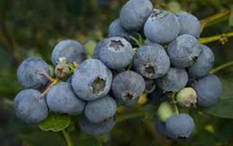 Bonita Rabbiteye Blueberry Picture