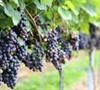 Champanel - Grapes