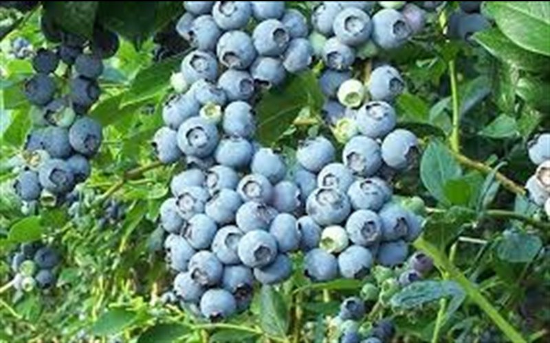 Chaucer Rabbiteye Blueberry Picture