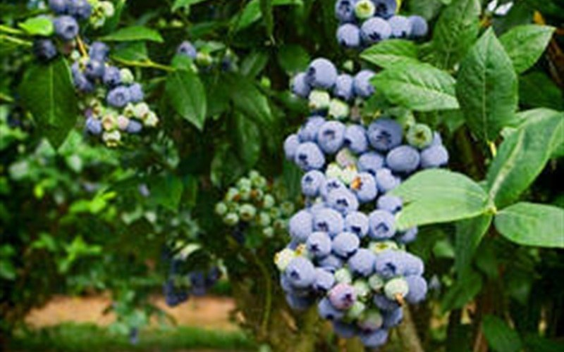 Climax Blueberry Picture