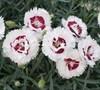 Coconut Surprise Dianthus
