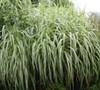 Cosmopolitan Grass