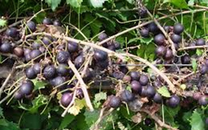 Cowart Muscadine Picture