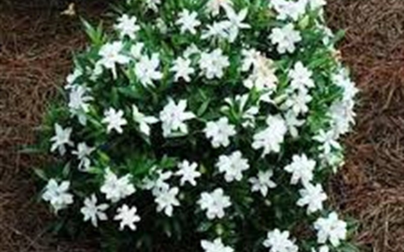 Creeping Gardenia Picture
