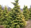 Crippsii Golden Hinoki Cypress