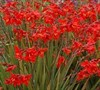 Crocosmia X Crocosmiliflora  Twilight Fairy Tm Crimson