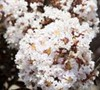 Delta Moonlight Crape Myrtle