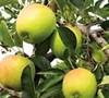 Dorsett Gold Apple Tree