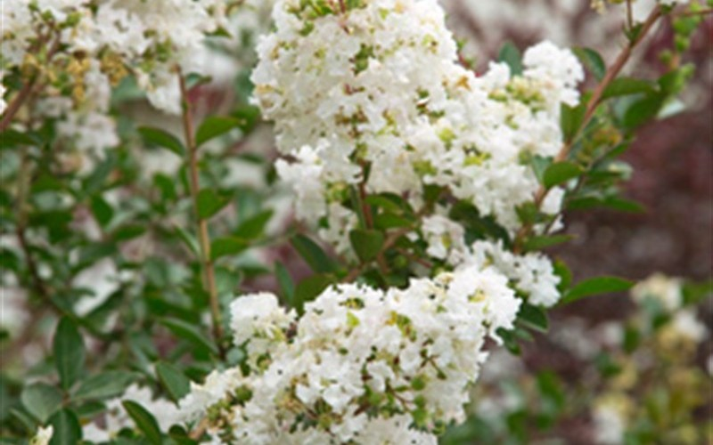 Early Bird White Crape Myrtle Picture