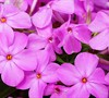 Forever Pink Phlox