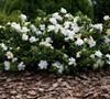 Frostproof Gardenia Picture