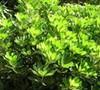 Green Pittosporum