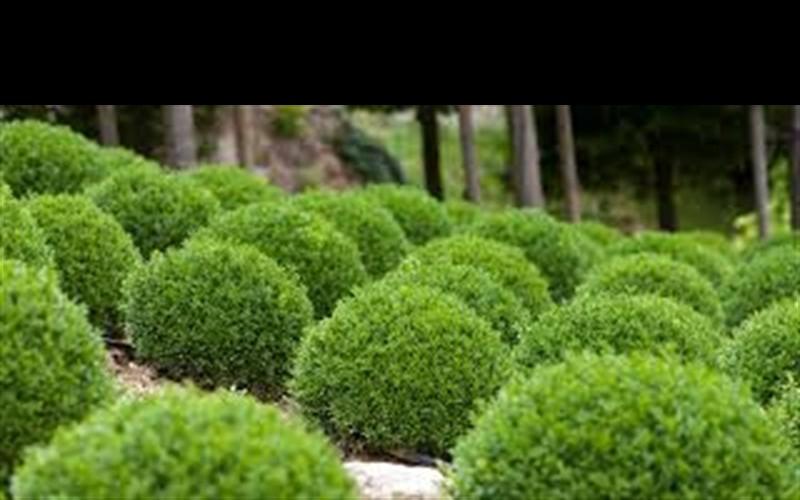Green Velvet Boxwood Picture