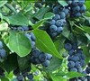 Jubilee Blueberry Picture