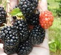 Kiowa Blackberry Picture