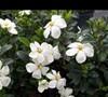 Kleims Hardy Gardenia Picture
