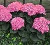 Merritts Supreme Pink