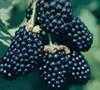 Ouachita Blackberry