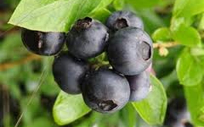 Pearl River Blueberry Picture