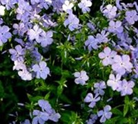 Phlox Divaricata  Blue Moon  - Woodland Phlox Picture