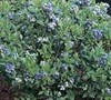Premier Blueberry Bush