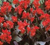Rose Dwarf Canna Lily Picture