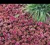 Red Carpet Sedum