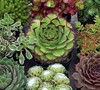 Hens And Chicks Hardy Mix
