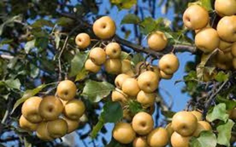 Shinseiki Asian Pear Picture