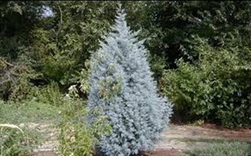 Silver Smoke Arizona Cypress Picture