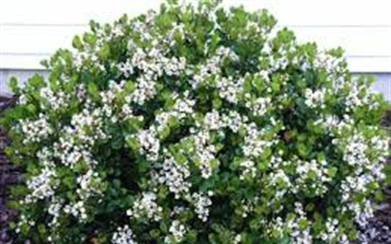 Snow White Indian Hawthorne Picture