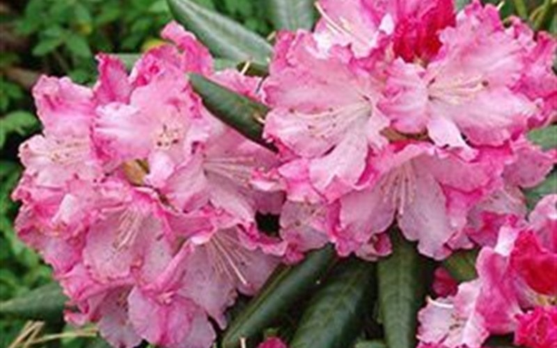 Southgate Breezy Rhododendron Picture