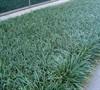 Spicata Liriope