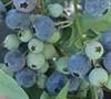 Vernon Rabbiteye Blueberry
