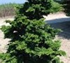 Well's Special Hinoki False Cypress