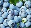 Woodard Blueberry