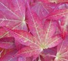 Gold Calico Cloth Japanese Maple