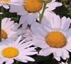 Leucanthemum X Superbum  White Mountain ® Pp#23151 - Shasta Daisy
