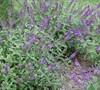 Buddleia Humdinger 'Orchid Annie' Ppaf - Butterfly Bush